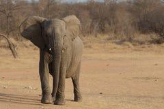 Giovane elefante africano Immagini Stock Libere da Diritti