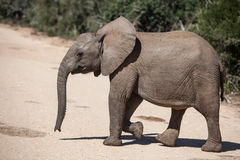 Giovane elefante africano Fotografie Stock