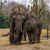 Giovane elefante asiatico che cammina con il suo papà, ritratto molto sveglio della famiglia, animali pericolosi dall'Asia immagini stock