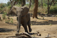 Giovane elefante che ci minaccia Immagine Stock
