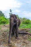 Giovane elefante che pasce in un villaggio tailandese illustrazione vettoriale