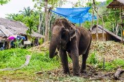 Giovane elefante che pasce in un villaggio tailandese fotografie stock