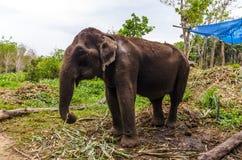 Giovane elefante che pasce in un villaggio tailandese fotografie stock libere da diritti