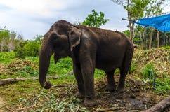 Giovane elefante che pasce in un villaggio tailandese immagine stock