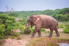 Giovane elefante con le zanne immagine stock libera da diritti