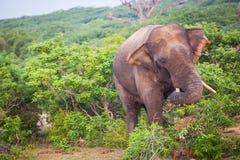 Giovane elefante con le zanne fotografie stock
