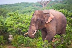 Giovane elefante con le zanne fotografia stock