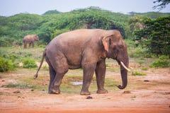 Giovane elefante con le zanne immagine stock