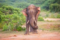 Giovane elefante con le zanne fotografia stock libera da diritti