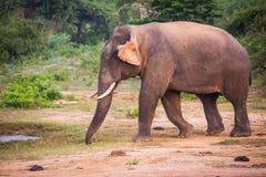 Giovane elefante con le zanne immagini stock