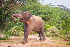 Giovane elefante con le zanne fotografie stock libere da diritti