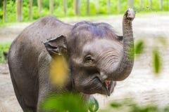 Giovane elefante indiano fotografia stock
