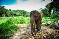 Giovane elefante maschio che si leva in piedi nel campo Immagini Stock Libere da Diritti