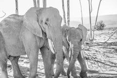 Giovane elefante maschio con il più vecchio toro Fotografie Stock Libere da Diritti