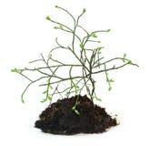 Giovane equiseto del cespuglio, con un pezzo di terra e un permesso fresco delle radici Immagine Stock