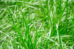 Giovane erba in primavera in un colpo vago ad un giardino tropicale Fotografia Stock Libera da Diritti
