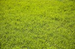 Giovane erba verde Immagini Stock