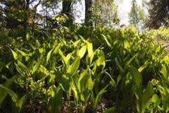 Giovane erba verde della sorgente Fotografia Stock