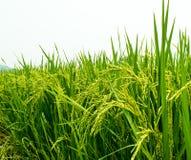 Giovane erba verde di riso sul giacimento del riso, agricoltura biologica nella campagna Fotografia Stock