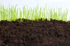 Giovane erba verde, macro Fotografie Stock