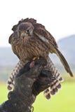 Giovane falco Immagini Stock Libere da Diritti