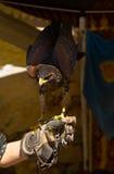 Giovane falco del Harris   Fotografia Stock