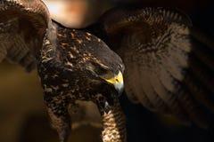 Giovane falco del Harris III Fotografie Stock Libere da Diritti