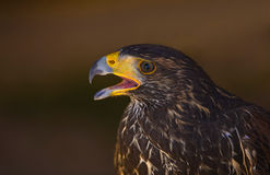 Giovane falco del Harris IV Fotografie Stock