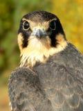 Giovane falco di hobby Fotografie Stock Libere da Diritti