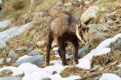 Giovane fauna selvatica del camoscio Fotografia Stock