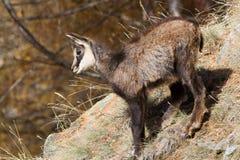 Giovane fauna selvatica del camoscio Fotografia Stock Libera da Diritti