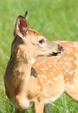 Giovane fawn Immagini Stock