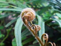 Giovane Fern Leaf Fotografia Stock