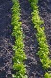 Giovane fila fresca della lattuga nel giardino di primavera Fotografia Stock