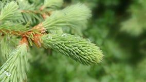 Giovane filiale di albero del pino Immagini Stock