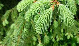 Giovane filiale di albero del pino Immagine Stock Libera da Diritti