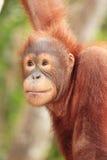Giovane fine dell'orangutan in su Fotografia Stock Libera da Diritti