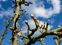 Giovane fiore della pera visto su un pero in un frutteto commerciale del sidro Fotografia Stock