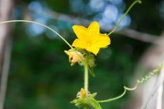 Giovane fiore della pianta del cetriolo Fotografie Stock
