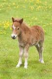 Giovane foal del cavallo dello stallion Immagine Stock