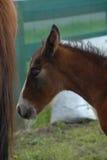 Giovane foal del foal della castagna con le basette bianche Immagine Stock