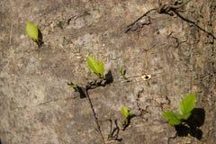 Giovane foglia di crescita dell'albero dal lato di grande albero fotografia stock