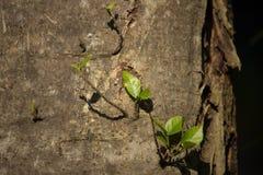 Giovane foglia di crescita dell'albero dal lato di grande albero fotografia stock libera da diritti