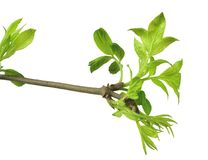 Giovane fogliame Primo piano elderberries Sorgente isolato senza un'ombra immagini stock libere da diritti