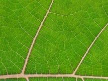 Giovane foglio verde fotografia stock libera da diritti