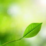 Giovane foglio verde della sorgente Fotografia Stock