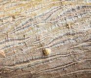 Giovane fondo della corteccia di albero Fotografia Stock