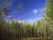Giovane foresta del pino Fotografie Stock Libere da Diritti