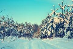 Giovane foresta del pino Immagine Stock