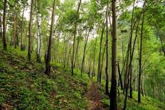 Giovane foresta della tremula sul pendio di collina in PADI Emelyanikha Fotografie Stock Libere da Diritti